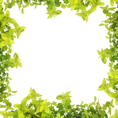Golden oregano herb leaf sprigs forming an abstract border, isolated over white background.