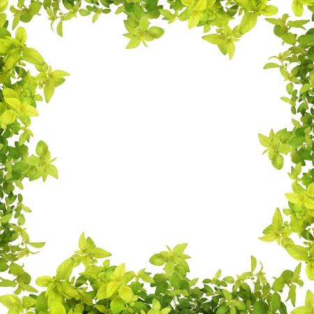 culinaire: Golden origan herb feuille butoirs formant une fronti�re abstraite, isol�e sur fond blanc. Banque d'images