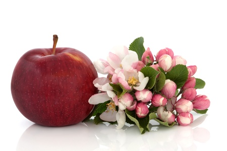 Red apple with spring flower blossom and leaf sprig isolated over white background. Empire variety.