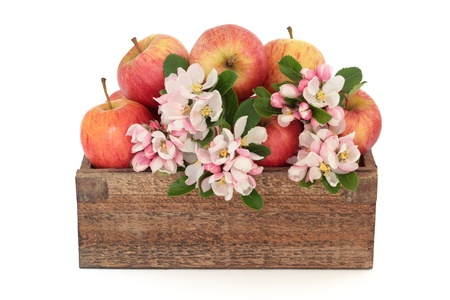 Apple flower blossom with gala apples in a rustic wooden box, isolated over white background. Stock Photo - 9709227