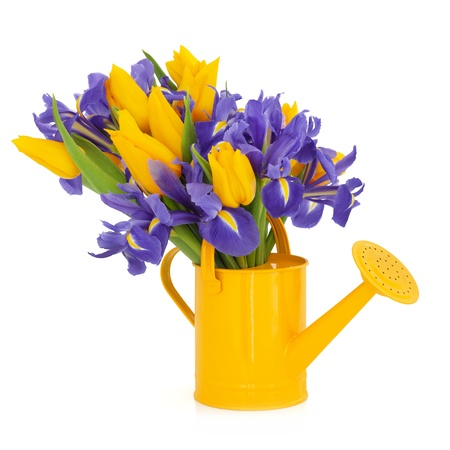 Yellow tulip and blue flag iris flower arrangement in a watering can isolated over white background. photo