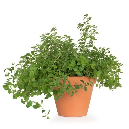 medicinal plants: Or�gano hierba planta en una maceta de terracota, aislada sobre fondo blanco.