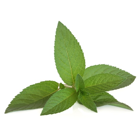 medicinal leaf: Peppermint herb leaf sprig isolated over white background.