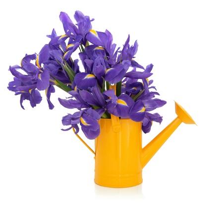 iris fiore: Bandiera blu iris floreale in un annaffiatoio giallo isolato su sfondo bianco.