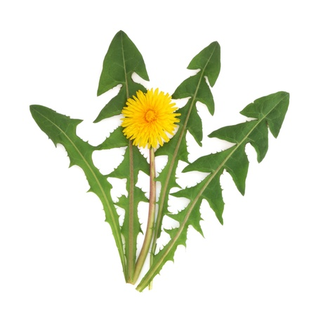 edible leaves: Dandelion herb flower with leaf sprigs isolated over white background. Taraxacum officinalis