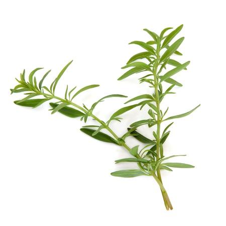 hyssop: Hyssop herb leaf sprigs isolated over white background.  Hyssopus.