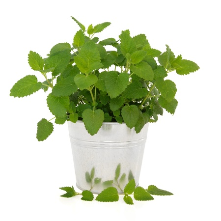 balm: Lemon balm herb plant in an aluminum pot with leaf sprig isolated over white background. Melissa officinalis. Can be used as a mosquito repellent.