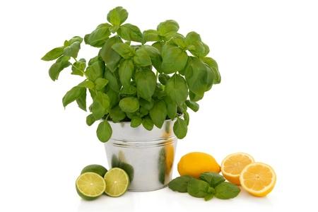 albahaca: Planta de albahaca hierba que crece en una olla de aluminio con una ramita de hojas y frutos de lim�n y lima aislado sobre fondo blanco.