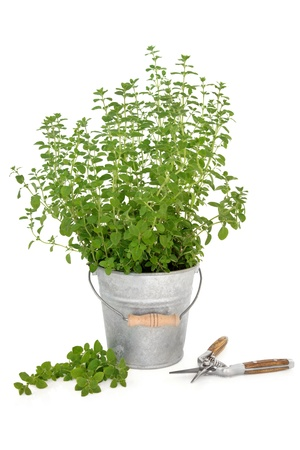 marjoram: Oregano herb plant growing in an old aluminum pot with household secateurs   and leaf sprig isolated over white background