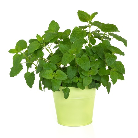 balm: Lemon balm herb plant in a green metal pot isolated over white background. Melissa officinalis. Alternative remedy as a repellent for mosquitoes. Stock Photo