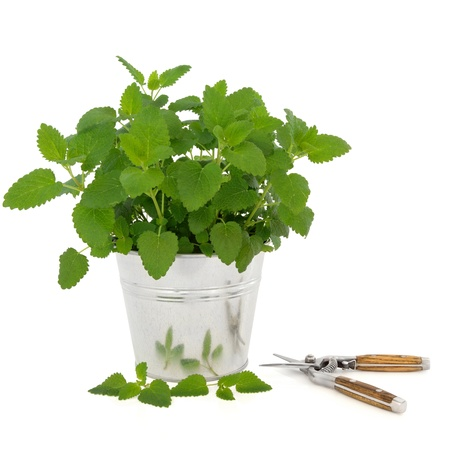 balm: Lemon balm herb plant in an aluminum pot with leaf sprig and household secatueurs isolated over white background. Melissa officinalis. Used as a repellent for mosquitoes.