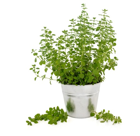Marjoram herb plant in an aluminum pot  with leaf sprigs isolated over white background.