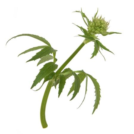 valerian: Valerian herb flower bud isolated over white background. Valeriana. Stock Photo