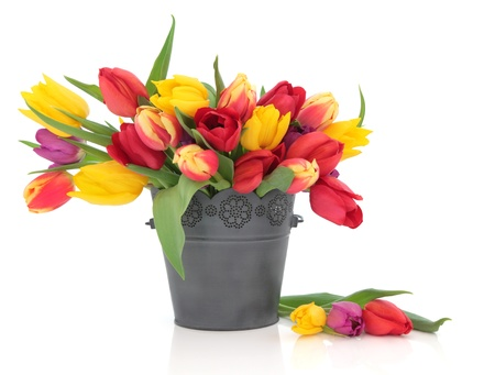 Tulip flowers in red, yellow, purple and striped in an old metal bucket and scattered isolated over white background.
