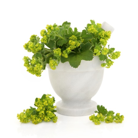 alchemilla: Ladies mantle herb flower sprigs in a marble mortar with pestle with scattered flowers isolated over white background. Alchemilla.