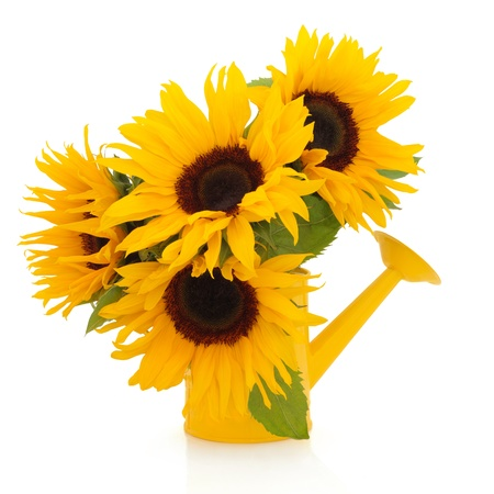 Sunflower arrangement in a yellow watering can isolated over white background. photo
