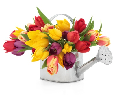 Tulip flowers in rainbow colours in an old metal watering can isolated over white background.