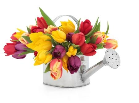 florero: Flores de tulip�n en colores del arco iris en un riego de metal viejo puede aisladas sobre fondo blanco.