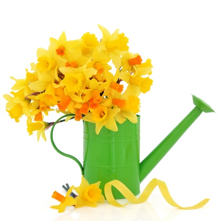 spring flower: Daffodil and narcissus spring flowers in a green metal watering can and scattered with yellow ribbon  isolated over white background. Stock Photo