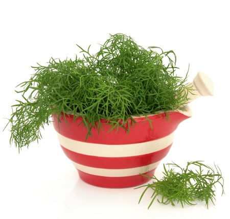 foeniculum vulgare: Fennel herb leaf sprigs in a red and cream striped mortar with pestle and scattered isolated over white background. Foeniculum vulgare.