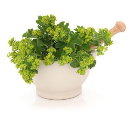 alchemilla: Ladies mantle herb flower sprigs in a cream stone mortar with pestle isolated over white background. Alchemilla. Stock Photo