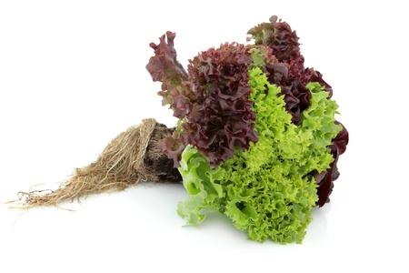endivia: Lechuga variedad con cepellón de lollo rossa, rojo y verde, batavia crecido en la misma planta aislado sobre fondo blanco. Centrarse en la lechuga. Foto de archivo