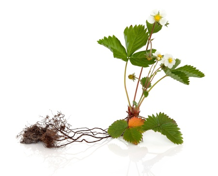 strawberry plant: Wild strawberry plant with root isolated over white background.