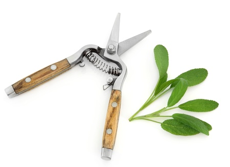 salvia: Sage herb and and gardening secateurs isolated over white background. Salvia.
