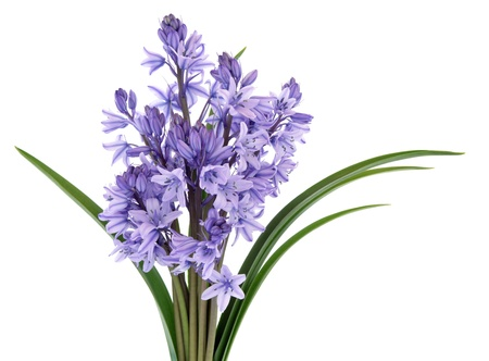 bluebells: Bluebell wild flowers isolated over white background. Stock Photo