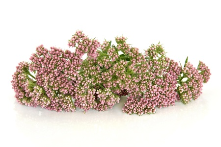 valerian: Valerian herb flower buds isolated over white background. Valeriana.