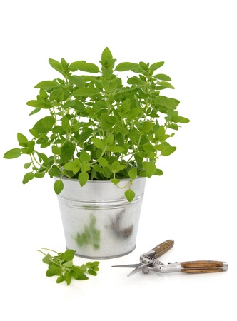 marjoram: Marjoram herb growing in a metal plant pot with pruning cutters and leaf sprigs isolated over white background  Stock Photo