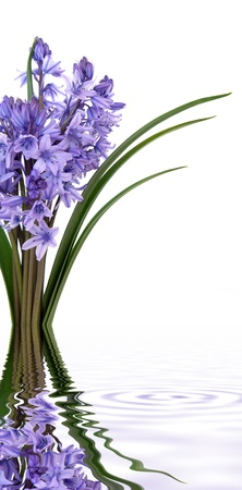 Bluebell flowers in a bunch  with reflection over white background  Stock Photo - 12760123