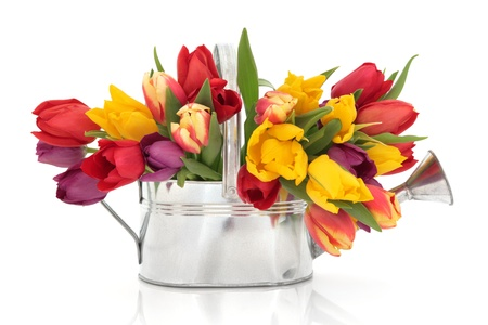 Rainbow coloured tulip flowers in an old metal watering can isolated over white background  photo