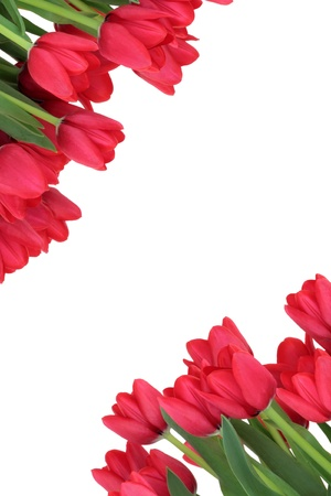 Red tulip flower spring border isolated over white background  photo