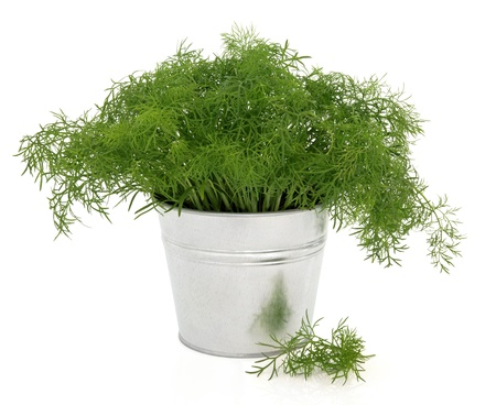 alluminum: Fennel herb plant in a aluminum metal pot with leaf sprigs over white background