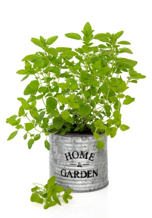 marjoram: Oregano herb growing in an old metal plant pot with home and garden title isolated over white background
