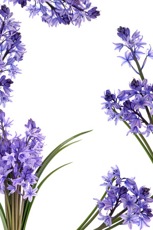Bluebell flowers forming a border isolated over white background  Stock Photo