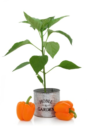 tin can: Orange pepper plant in an old tin can with home and garden title and loose peppers over white background