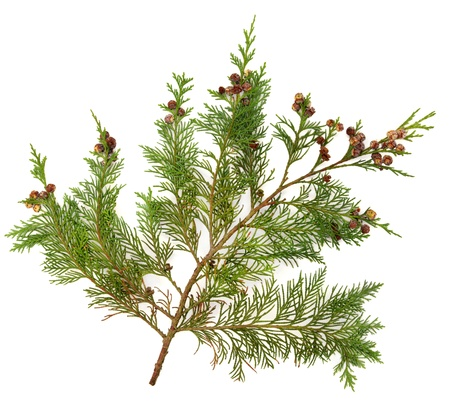 cedro: Cedar ciprés de Leyland rama de la hoja con los conos de pino sobre fondo blanco