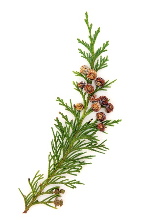 Cedar leaf branch with pine cones over white background