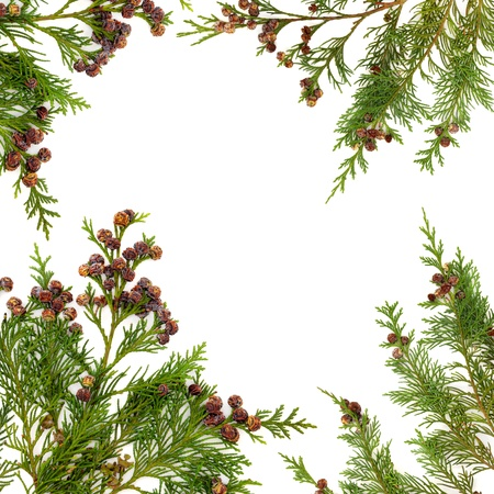 Border of cedar cypress  leaf sprigs with pine cones over white background  photo