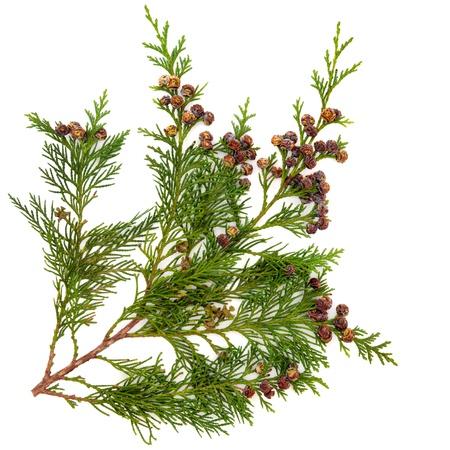 Cedar ciprés de Leyland rama de la hoja con los conos de pino sobre fondo blanco Foto de archivo
