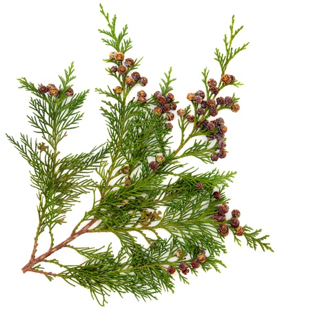 Cedar cypress leyland leaf branch with pine cones over white background  photo