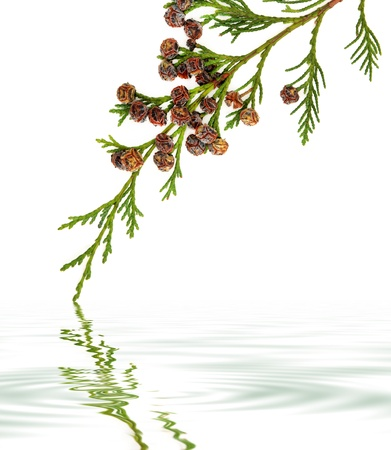 cypress tree: Cedar cypress leyland leaf branch with pine cones over white background with reflection   Stock Photo