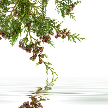 cedar: Cedar cypress leaf branch with pine cones with reflection over water on white background