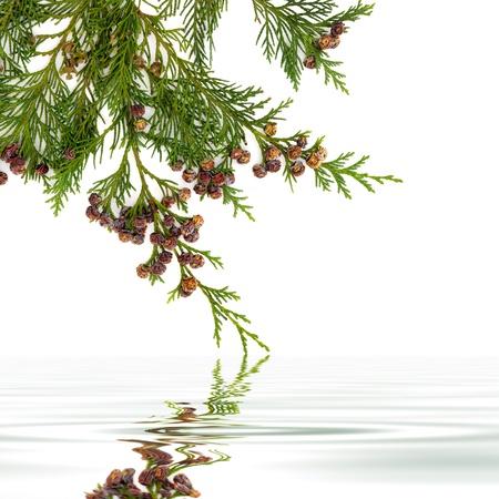 cedro: Cedar rama de ciprés de la hoja con los conos de pino con la reflexión sobre el agua en el fondo blanco Foto de archivo