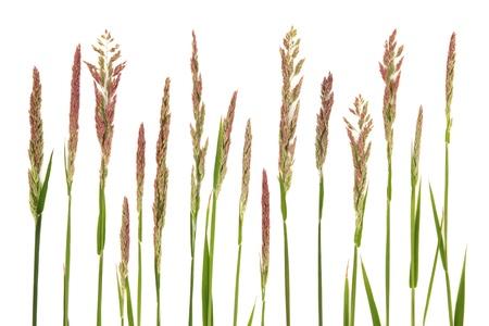 Wilde Wiese Gras in einer Linie auf weißem Hintergrund
