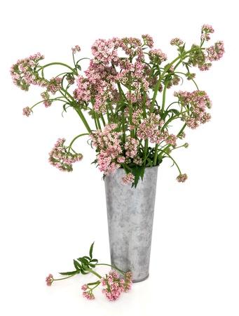 Valerian herb flower arrangement in an old aluminum vase over white background  Natural alternative medicine for vallium drug  Stock Photo