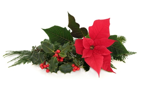 poinsettia: Christmas poinsettia flower table decoration with holly, ivy, spruce pine and cedar cypress leaf sprigs over white background  Stock Photo