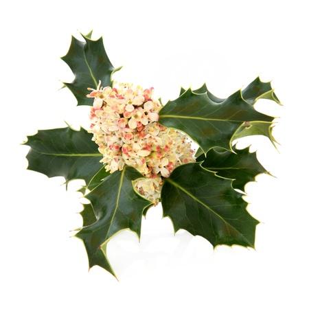 ilex aquifolium holly: Holly leaf sprig with flower clusters over white background  European female species  Ilex aquifolium